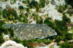 Sole fish. Closeup of Sole fish swimming underwater Stock Image