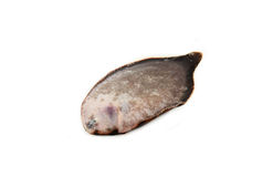 Sole fish, flounder Royalty Free Stock Photography