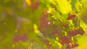 Sole illuminato rosso che oscilla sui rami di albero, giorno di estate, fine di viburno su archivi video