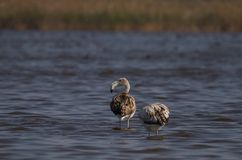Sole juvenile flamingos in Romania Stock Images