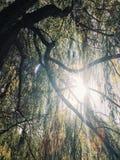 Sole luminoso che splende attraverso l'albero di salice piangente Fotografia Stock