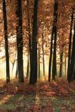 Sole luminoso nella foresta di autunno Fotografia Stock