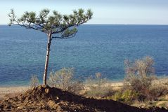 Sole pine tree on a beach Royalty Free Stock Photo