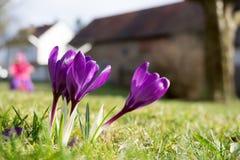 Sole porpora dei croco di mattina Fotografie Stock