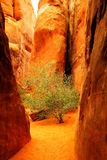 A sole tree in a slot canyon Stock Images