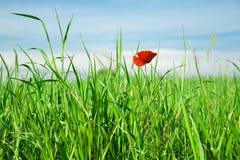Soledad de la flor de la amapola Fotografía de archivo libre de regalías