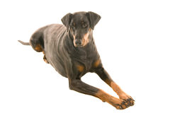 Soleful Doberman. Doberman looking solely into the middle distance, hoping for treats Royalty Free Stock Images