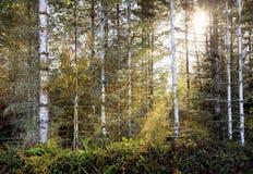Soleil coulant du nord-ouest Pacifique en bois de bouleau image libre de droits