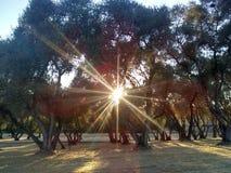 Soleil d'après-midi d'arbre de fronde photo libre de droits