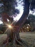 Soleil d'après-midi d'arbre de fronde photos libres de droits