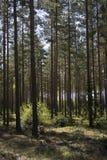 Soleil dans la forêt de pin Photographie stock libre de droits