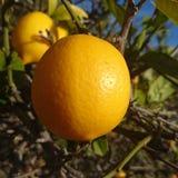 Soleil de citron photographie stock