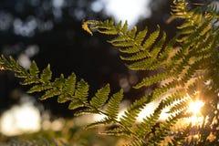 Soleil de soirée par des feuilles Photographie stock libre de droits