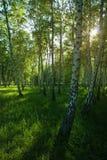 Soleil en parc de bouleaux photo libre de droits
