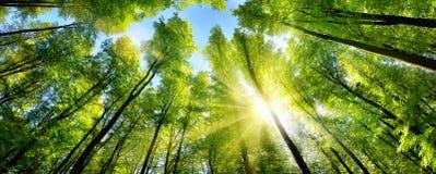 Soleil enchanteur sur les cimes d'arbre vertes image libre de droits