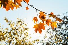 Soleil et feuilles jaunes et oranges d'érable Image libre de droits