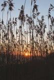 Soleil Levant par les roseaux Photo libre de droits