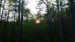 Notre soleil par les pins Photographie stock libre de droits