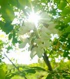 Soleil par des feuilles de sauterelle noire Photographie stock libre de droits
