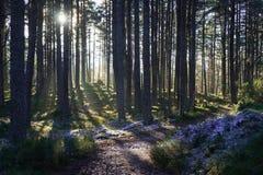Soleil piaulant par des arbres avec le gel au sol Images stock