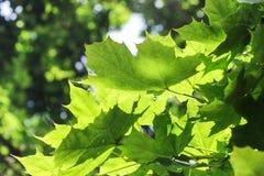 Soleil sur les feuilles vertes Photos libres de droits