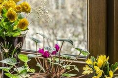 Soleira, rosas pequenas do amarelo, cíclame roxo e açafrões amarelos do campo Fotos de Stock Royalty Free