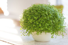 Soleirolia soleirolii. Green plant with many different common names Stock Photo