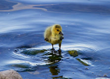 The solely chick of the goose in the water Stock Photography