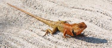 Chameleon. A solemn chameleon on floor Royalty Free Stock Photography