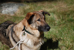 Solemn Face of a German Shepherd. German shepherd dog laying in grassy area Royalty Free Stock Images
