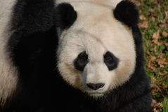 Solemn Facial Expression on Giant Panda Bear. Amazing giant panda bearwith a  solemn facial expression Stock Images