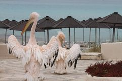 Solemn marching of two pelicans. Two pelicans marching solemnly towards the beach at Ayia Napa, Cyprus Royalty Free Stock Photo