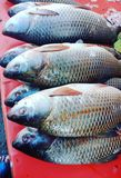 Solemn rohu fish. Solemn solemen soleman rohu rohoo fish diet meat seafood river fish Stock Images