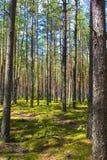 Solen är i den ljusa skogen - grön mossa Skugga av träden på mossan Arkivfoton