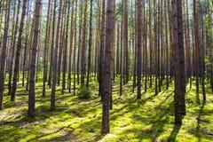 Solen är i den ljusa skogen - grön mossa Skugga av träden på mossan Arkivfoto