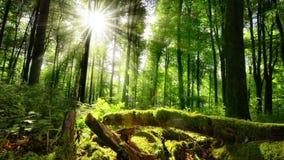 Solen gjuter dess förtrollande strålar in i den gröna skogen arkivfilmer