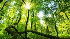 Solen gjuter dess förtrollande strålar in i den nya gröna skogen arkivfilmer