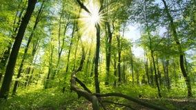 Solen gjuter dess härliga strålar in i den nya gröna skogen stock video