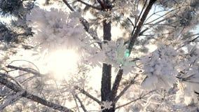 Solen i ramen till och med trädfilialerna i rimfrostvintern är jultid stock video