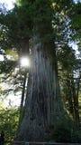 Solen når en höjdpunkt bakifrån en av de större redwoodträden Royaltyfri Foto
