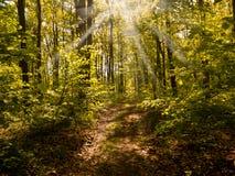 Solen rays att skina till och med träden Royaltyfri Bild