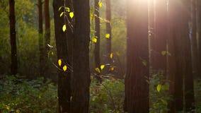 Solen rays ljusa ljusa sidor bland trädstammar arkivfilmer