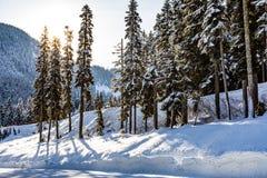 Solen skiner bakifrån högväxta träd med ett berg i avståndet bredvid en hård snö packad väg royaltyfri bild