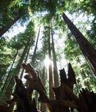 Solen skiner mellan massiva redwoodträd i Montgomery Woods Arkivfoto