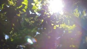 Solen skiner till och med de gröna sidorna av trädet stock video