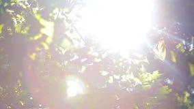 Solen skiner till och med de gröna sidorna av trädet lager videofilmer