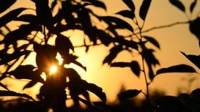 Solen skiner till och med svarta konturer av sidor på träd på gryning arkivfilmer
