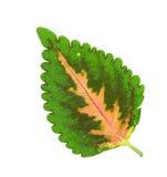 Solenostemon Leaf Stock Photography