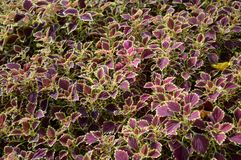 Solenostemon scutellaides plants Royalty Free Stock Photography