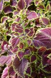 Solenostemon scutellaides plants Royalty Free Stock Image